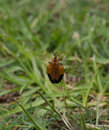 Insect orange and black feeding on grass seeds Royalty Free Stock Images