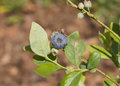 Insect pest blueberry plant with in spring Stock Photo