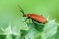 Insect portrait cardinal beetle Royalty Free Stock Photo