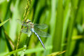 Insect portrait emperor dragonfly anax imperator at rest on a reed stem Royalty Free Stock Image