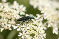 Insect portrait flower beetle Royalty Free Stock Photo