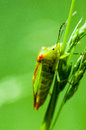 Insect portrait hawthorn shield bug but acanthosoma haemorrhoidale resting on grass stems Royalty Free Stock Photo