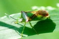 Insect portrait hawthorn shield bug but acanthosoma haemorrhoidale resting on grass stems Stock Images