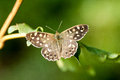 Insect portrait speckled wood butterfly pararge aegeria basking in a woodland glade Stock Image