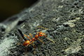 Insects ants is a type of insect in the family formicidae we see everywhere Royalty Free Stock Image