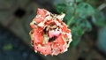 Insects eat Rose Flower Royalty Free Stock Photo