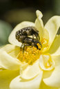 Insects and ornamental rose mating coleopteron on yellow Royalty Free Stock Photo