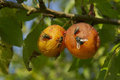 Insects on plums and rotting fruit fruit Royalty Free Stock Photos