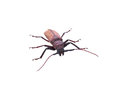 Insescts-Long-horned beetle on white background. Royalty Free Stock Photo