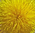 Inside a dandelion - macro. Floral background Stock Images