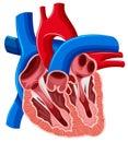 Inside diagram of human heart Royalty Free Stock Photo