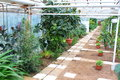 Inside the greenhouse alley and ordered rows of ficus and other ornamental plants Stock Photos