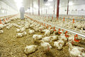 Inside a poultry farm interior with farmer veterinary in background Stock Photography
