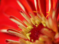 Instruction-macro de Zinnia Photo stock