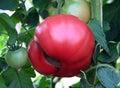 Insuffisance de calcium sur le fruit de tomate Photos libres de droits