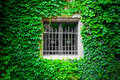Insulation by ivy clinging to the wall and around a windows Royalty Free Stock Photo