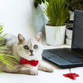 Intelligent cute cat near with the laptop. Animal in the red bow tie in the office  computer Royalty Free Stock Photo