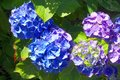 Intense blue blooming flowers Hydrangea garden Royalty Free Stock Photo