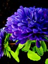 Intense blue mum bright with color Stock Photos
