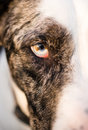 Intense Canine Dog Wolf Animal Eye Pupil Unique Color Royalty Free Stock Photo