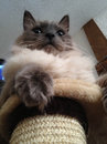 Intense cat on perch cute rag doll laying stand looking lower view makes look like a giant Stock Photo