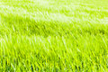 Intense green a beautiful and vibrant crop in south italy Royalty Free Stock Photos