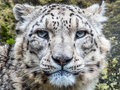 Intense look of a snow leopard Royalty Free Stock Photo