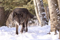 Intense looking black timber wolf hunting Royalty Free Stock Photo