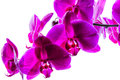 Intense magenta orchids this is an image of delicate intensely colored isolated against a white background Stock Image
