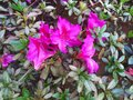 Intense pink flowers contrasting with the green leaves around Stock Images