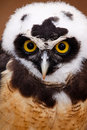 Intense Stare of a Spectacled Owl Stock Images