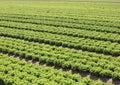 green lettuce in fertile sandy soil in the Padana plain in italy Royalty Free Stock Photo