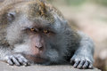 Intent and strict look of resting wild big monkey leader with focus on eyes Royalty Free Stock Photos