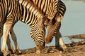 Interacting Zebras