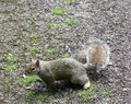 Interested Squirrel. Royalty Free Stock Photo