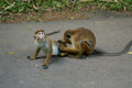 Interesting couple of monkeys Royalty Free Stock Photo