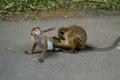 Interesting couple of monkeys Royalty Free Stock Photo