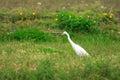 Intermediate egret ardea intermedia in jaan Stock Photography