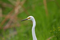 Intermediate egret ardea intermedia in jaan Stock Images