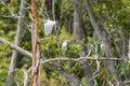 Intermediate Egret flying and Little egret aquatic heron birds o