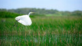 Intermediate egret is flying at wetland in thailand Stock Photography