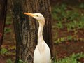 Intermediate egret heron side view of bird in the afternoon Stock Images