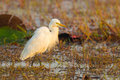 Intermediate egret mesophoyx intermedia with pairing feather in nature Royalty Free Stock Photos