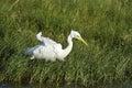 Intermediate egret in pottuvil sri lanka ardea intermedia Stock Images