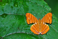 Intermediate maplet butterfly Royalty Free Stock Photos