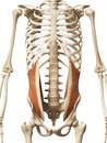 The internal oblique muscle anatomy Royalty Free Stock Photos