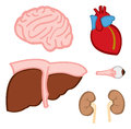 Internal Organs Stock Images