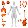 Internal organs human anatomy white backround Stock Photos
