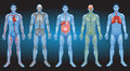 Internal organs of the human body Royalty Free Stock Photography