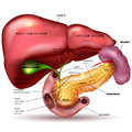 Internal organs, liver, pancreas, spleen